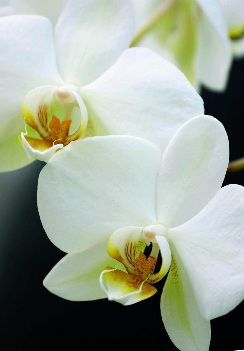 orchideen service und umtopftage 2016 sandner. Black Bedroom Furniture Sets. Home Design Ideas