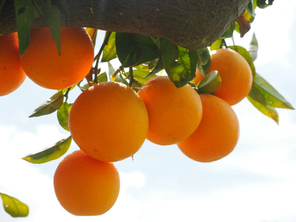 oranges-1117498